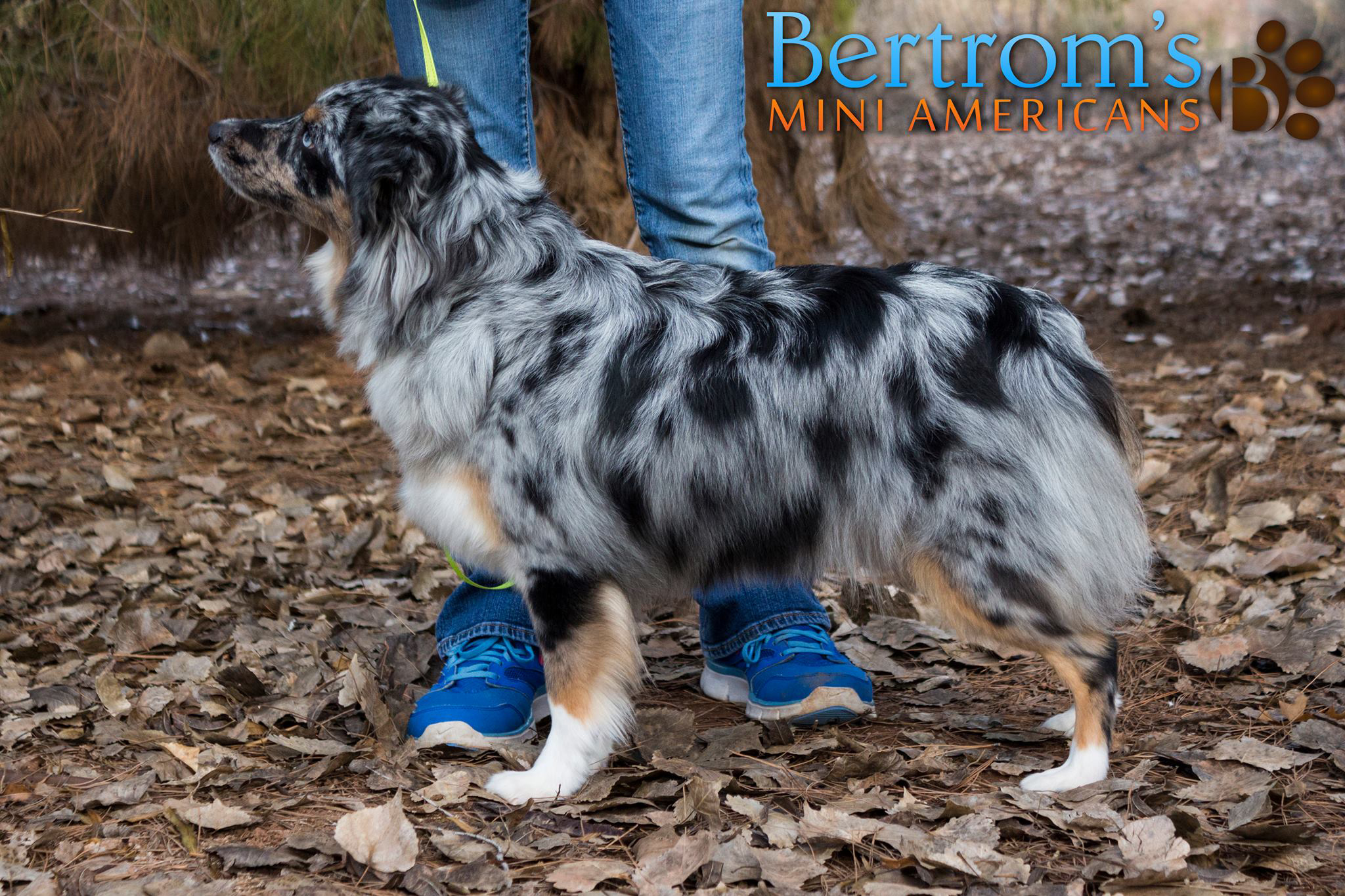 Bar D Riddle Me This of Bertrom, blue merle female Miniature American Shepherd