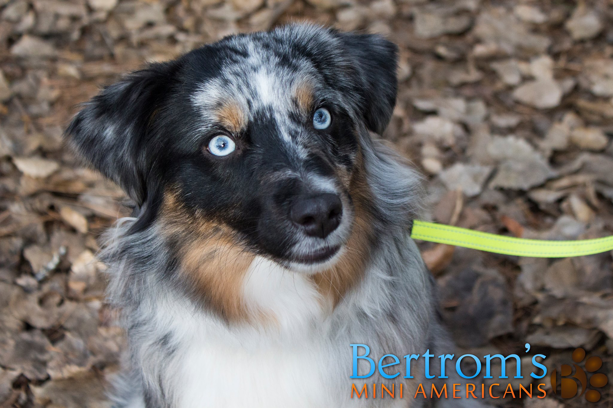 Blue merle female Mini American Shepherd, Bar D Riddle Me This of Bertrom