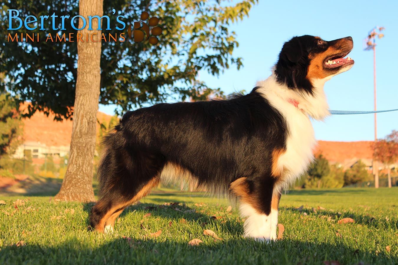 Bar D Calm the Storm of Bertrom, black tri male Mini American Shepherd