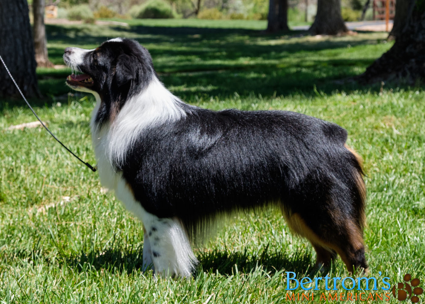 Bertrom's Up Close and Personal, black tri male Miniature American Shepherd, stacking
