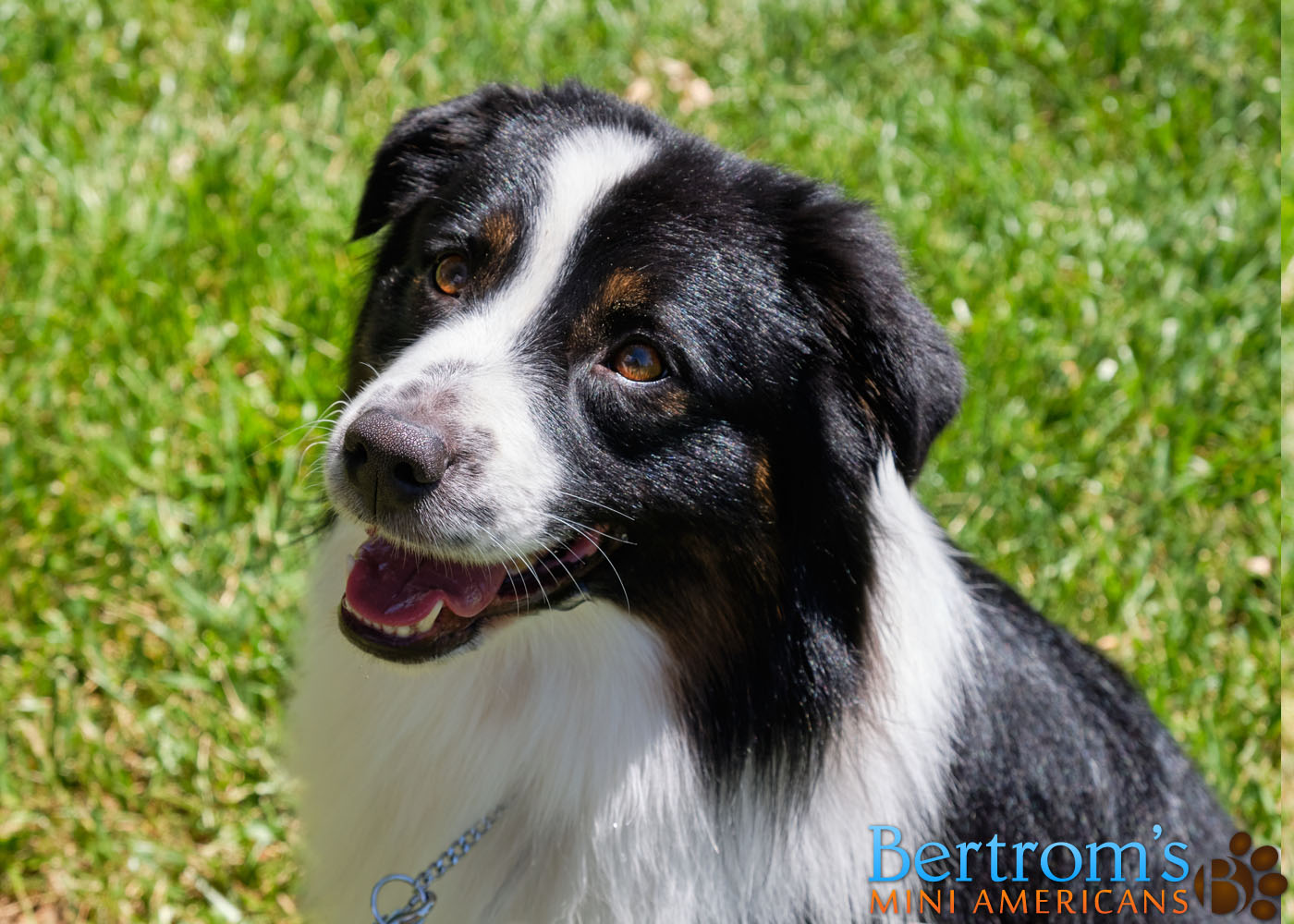 Bertrom's Up Close and Personal, Mini American Shepherd, at a park